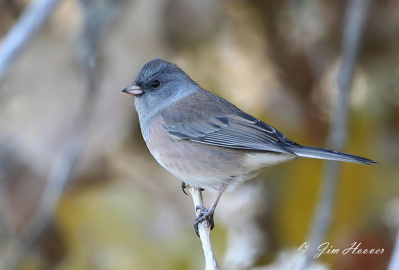 """""""Pink-sided"""" Dark-eyed Junco at Barr Lake SP"""