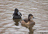 Ring-necked Duck - male and female