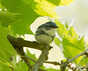 Cerulean Warbler<br /> Jefferson Hills, PA