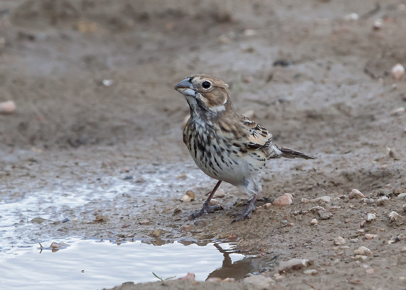 Lark Bunting - female