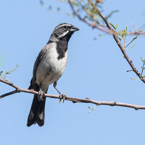 Black-throated Sparrow in Portal, AZ