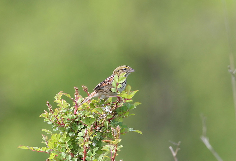Henslow's Sparrow at the Imperial Grasslands