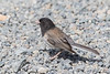 Oregon Dark-eyed Junco