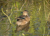 Green-winged Teal at Sweetwater Wetlands