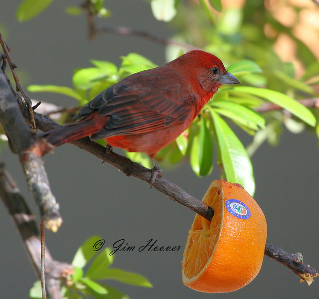 Hepatic Tanager in Madera Canyon