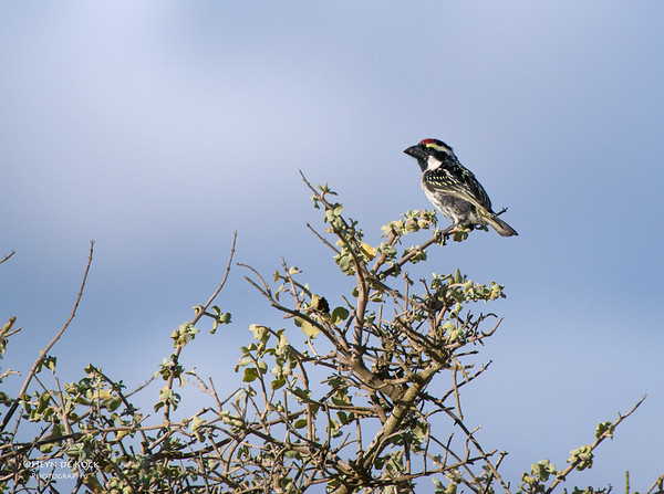 Acasia Pied Barbet, West Coast NP, WC, SA, Jan 2014