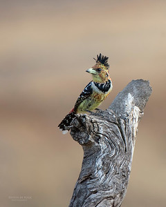 Crested Barbet, Hobhouse, FS, SA, Sept 2015