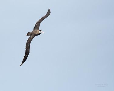 Antipodean Albatross, Eaglehawk Neck Pelagic, TAS, Sept 2016-7