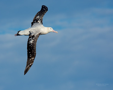 Antipodean Albatross, Eaglehawk Neck Pelagic, TAS, July 2015-2
