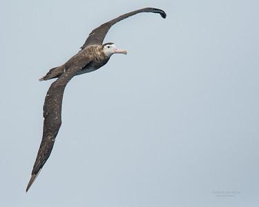 Antipodean Albatross, Eaglehawk Neck Pelagic, TAS, Sept 2016-6