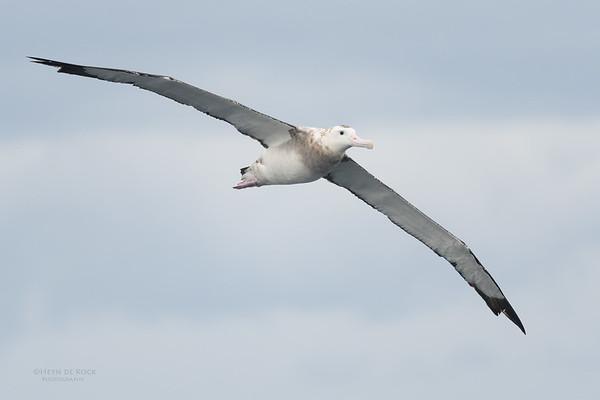 Antipodean Albatross, Eaglehawk Neck Pelagic, TAS, Sept 2016-4