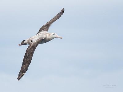 Antipodean Albatross, Eaglehawk Neck Pelagic, TAS, Sept 2016-2