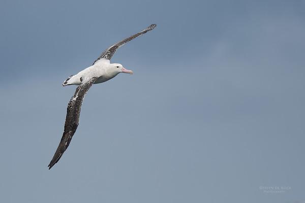 Antipodean Albatross, Eaglehawk Neck Pelagic, TAS, Sept 2016-12