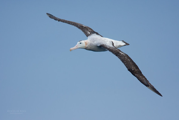 Antipodean Albatross, Eaglehawk Neck Pelagic, TAS, May 2016-1