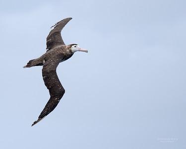 Antipodean Albatross, Eaglehawk Neck Pelagic, TAS, Sept 2016-8