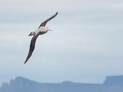 Antipodean Albatross, Eaglehawk Neck Pelagic, TAS, Sept 2016-11