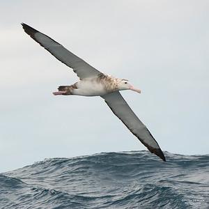 Antipodean Albatross, Wollongong, NSW, Aus, Oct 2013-6