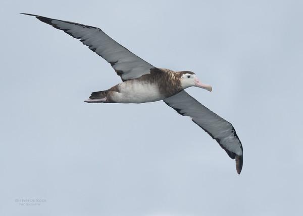 Antipodean Albatross, Eaglehawk Neck Pelagic, TAS, Sept 2016-5