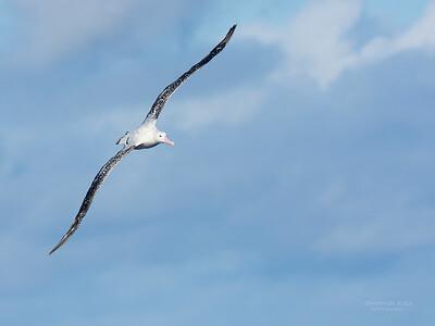 Antipodean Albatross, Eaglehawk Neck Pelagic, TAS, May 2016-2