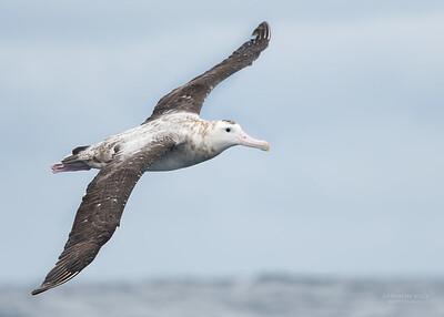 Antipodean Albatross, Eaglehawk Neck Pelagic, TAS, Sept 2016-3