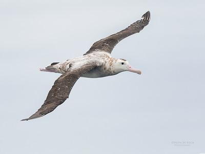 Antipodean Albatross, Eaglehawk Neck Pelagic, TAS, Sept 2016-1