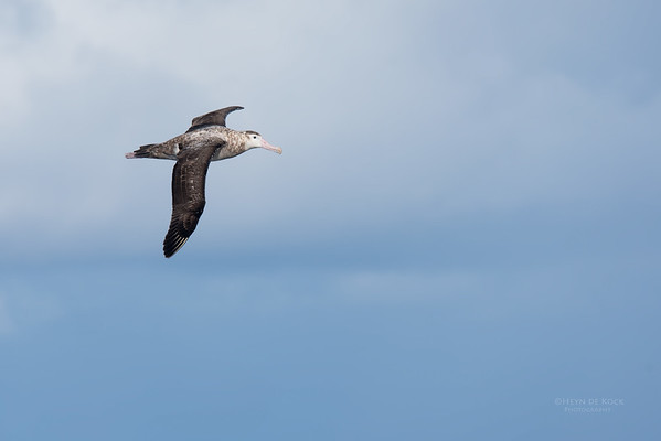 Antipodean Albatross, Eaglehawk Neck Pelagic, TAS, May 2016-3