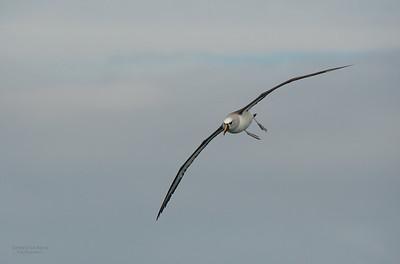 Atlantic Yellow-nosed Albatross, Cape Town Pelagic, WC, SA, Jan 2014