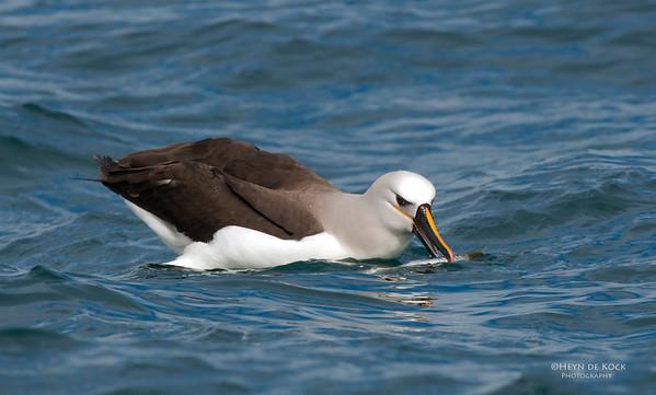 Atlantic Yellow-nosed Albatross, Cape Town Pelagic, WC, SA, Jan 2014-2