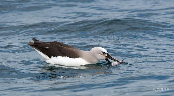 Atlantic Yellow-nosed Albatross, Cape Town Pelagic, WC, SA, Jan 2014-5