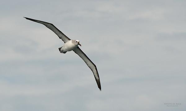 Atlantic Yellow-nosed Albatross, Cape Town Pelagic, WC, SA, Jan 2014-8