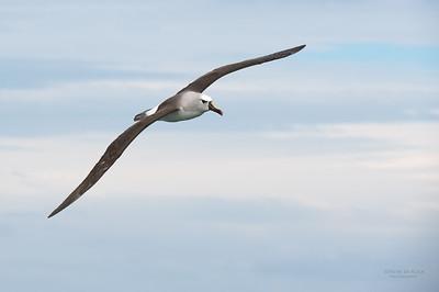 Atlantic Yellow-nosed Albatross, Cape Town Pelagic, WC, SA, Jan 2014-3