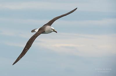 Atlantic Yellow-nosed Albatross, Cape Town Pelagic, WC, SA, Jan 2014-1