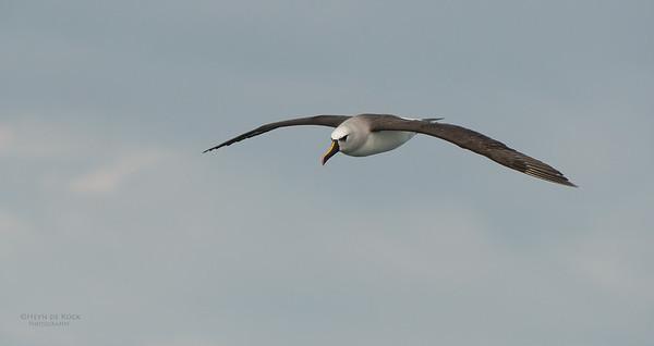 Atlantic Yellow-nosed Albatross, Cape Town Pelagic, WC, SA, Jan 2014-7