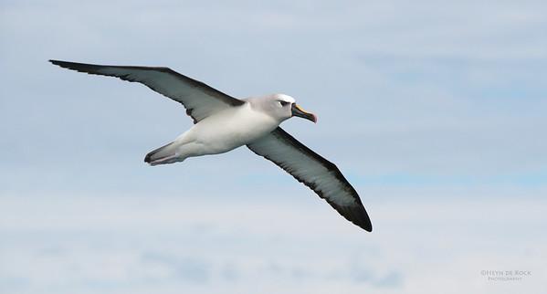 Atlantic Yellow-nosed Albatross, Cape Town Pelagic, WC, SA, Jan 2014-4