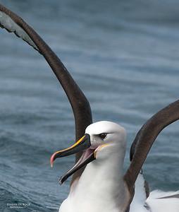 Atlantic Yellow-nosed Albatross, Cape Town Pelagic, WC, SA, Jan 2014-6