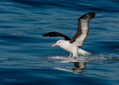 Black-browed Albatross, Wollongong Pelagic, NSW, Aus, Jul 2013-2