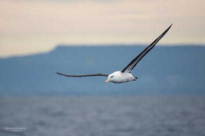 Black-browed Albatross, Wollongong Pelagic, NSW, Jul 2014-3