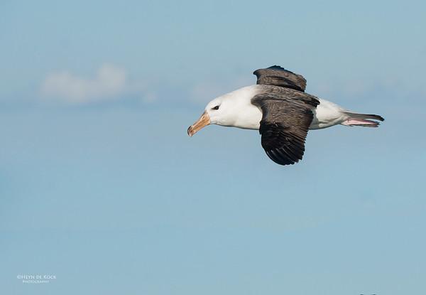 Black-browed Albatross, Wollongong Pelagic, NSW, Aus, Jul 2013-3