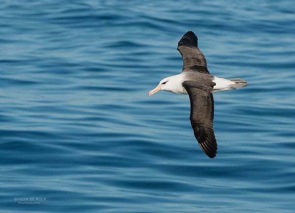 Black-browed Albatross, Wollongong Pelagic, NSW, Aus, Jul 2013-1