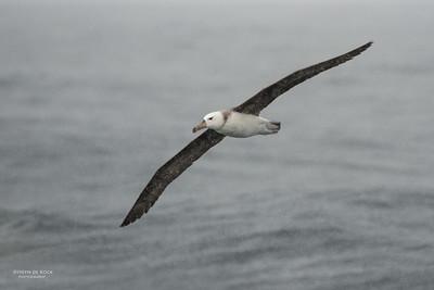 Black-browed Albatross, imm, Wollongong Pelagic, NSW, Aus, Aug 2014-2