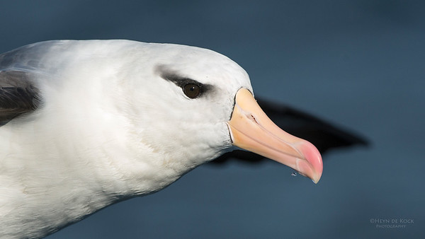 Black-browed Albatross, Wollongong Pelagic, NSW, Jul 2014-2