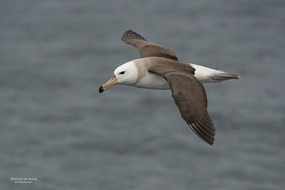 Black-browed Albatross, juv, Wollongong Pelagic, NSW, Aus, Aug 2014-2