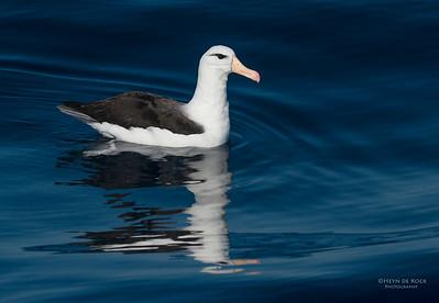 Black-browed Albatross, Wollongong Pelagic, NSW, Aus, Jul 2013