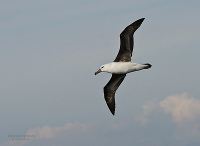 Black-browed Albatross, imm, Wollongong Pelagic, NSW, Aus, Sept 2012