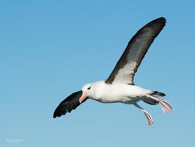 Black-browed Albatross, Wollongong Pelagic, NSW, Aus, Jul 2013-4