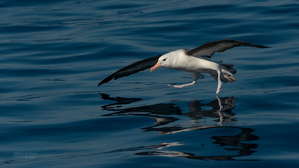 Black-browed Albatross, Wollongong Pelagic, Jul 2013