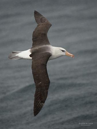 Black-browed Albatross, Wollongong Pelagic, NSW, Aus, Aug 2014-4
