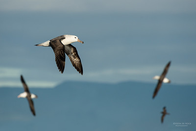 Black-browed Albatross, Wollongong Pelagic, NSW, Aus, Aug 2014-3