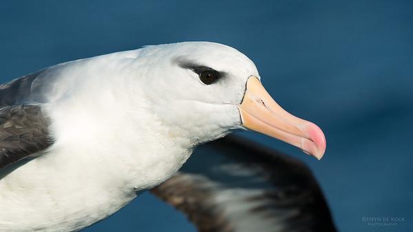 Black-browed Albatross, Wollongong Pelagic, NSW, Jul 2014-1