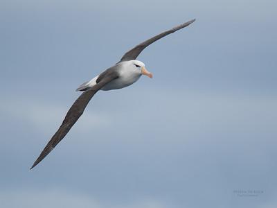 Black-browed Albatross, Eaglehawk Neck Pelagic, TAS, Sept 2016-1